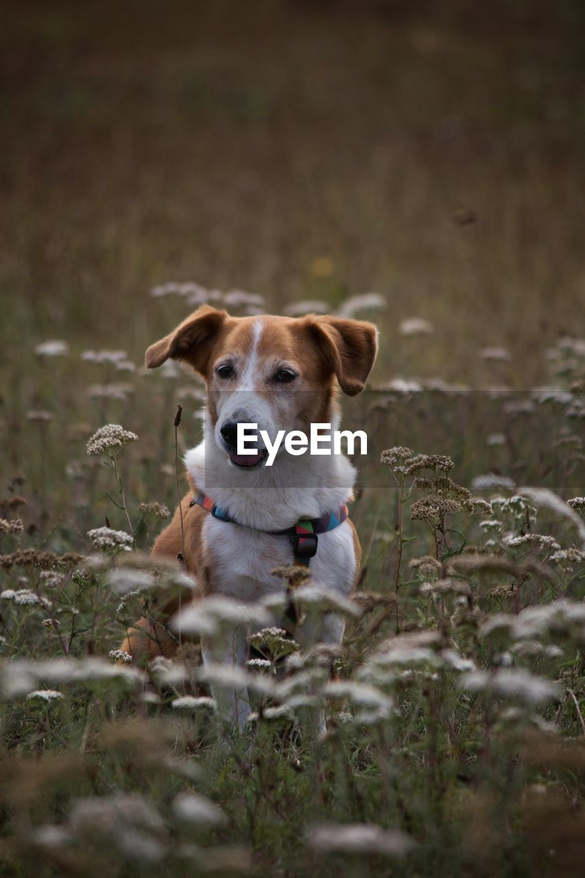 domestic, one animal, pets, domestic animals, mammal, dog, canine, animal themes, animal, portrait, land, selective focus, looking at camera, no people, field, plant, looking, nature, vertebrate, day, jack russell terrier, outdoors, animal head