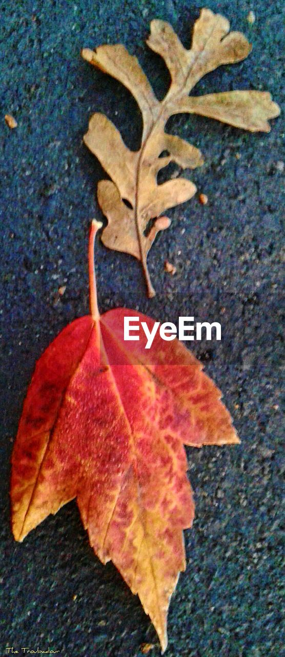 leaf, autumn, change, dry, nature, outdoors, day, close-up, maple, maple leaf, beauty in nature, red, no people, fragility, freshness