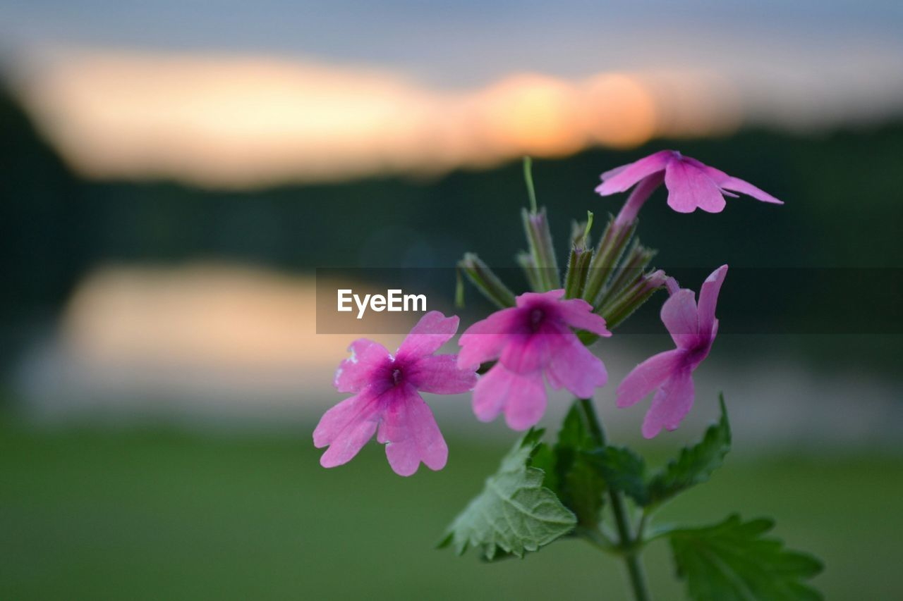 flower, fragility, beauty in nature, petal, pink color, nature, growth, freshness, focus on foreground, plant, flower head, no people, close-up, blooming, outdoors, leaf, day, sky