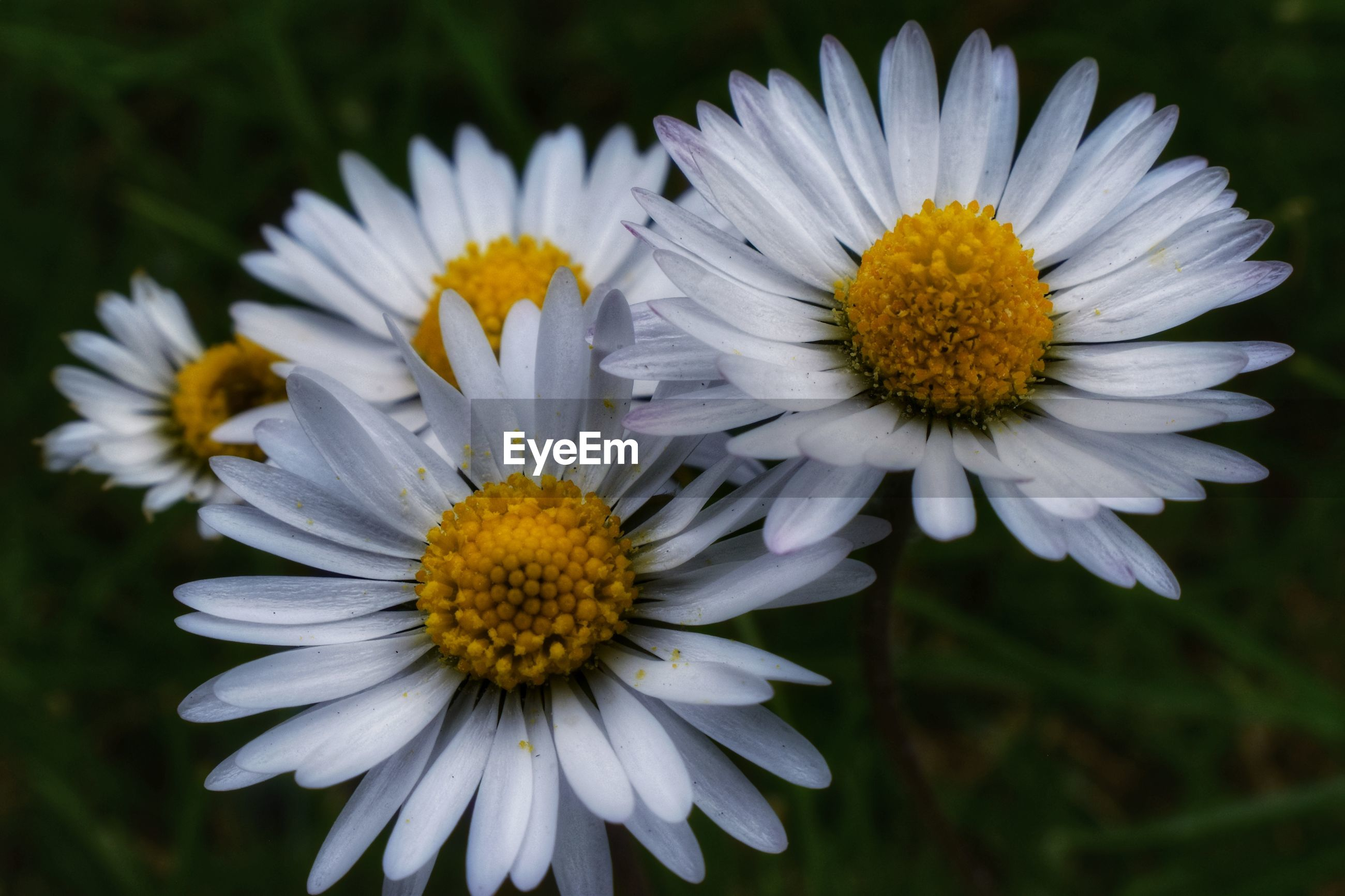 CLOSE-UP OF WHITE DAISY AND YELLOW FLOWERING PLANTS