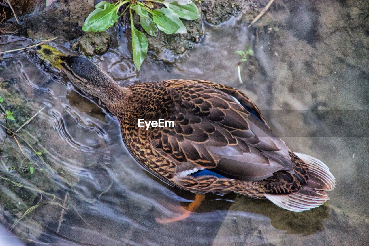 animal wildlife, animal themes, animal, animals in the wild, water, one animal, vertebrate, nature, bird, lake, day, duck, high angle view, no people, mallard duck, poultry, close-up, waterfront, outdoors