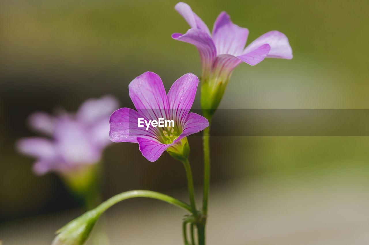 flowering plant, flower, vulnerability, fragility, freshness, beauty in nature, plant, petal, close-up, growth, inflorescence, flower head, purple, nature, no people, pink color, focus on foreground, selective focus, day, outdoors