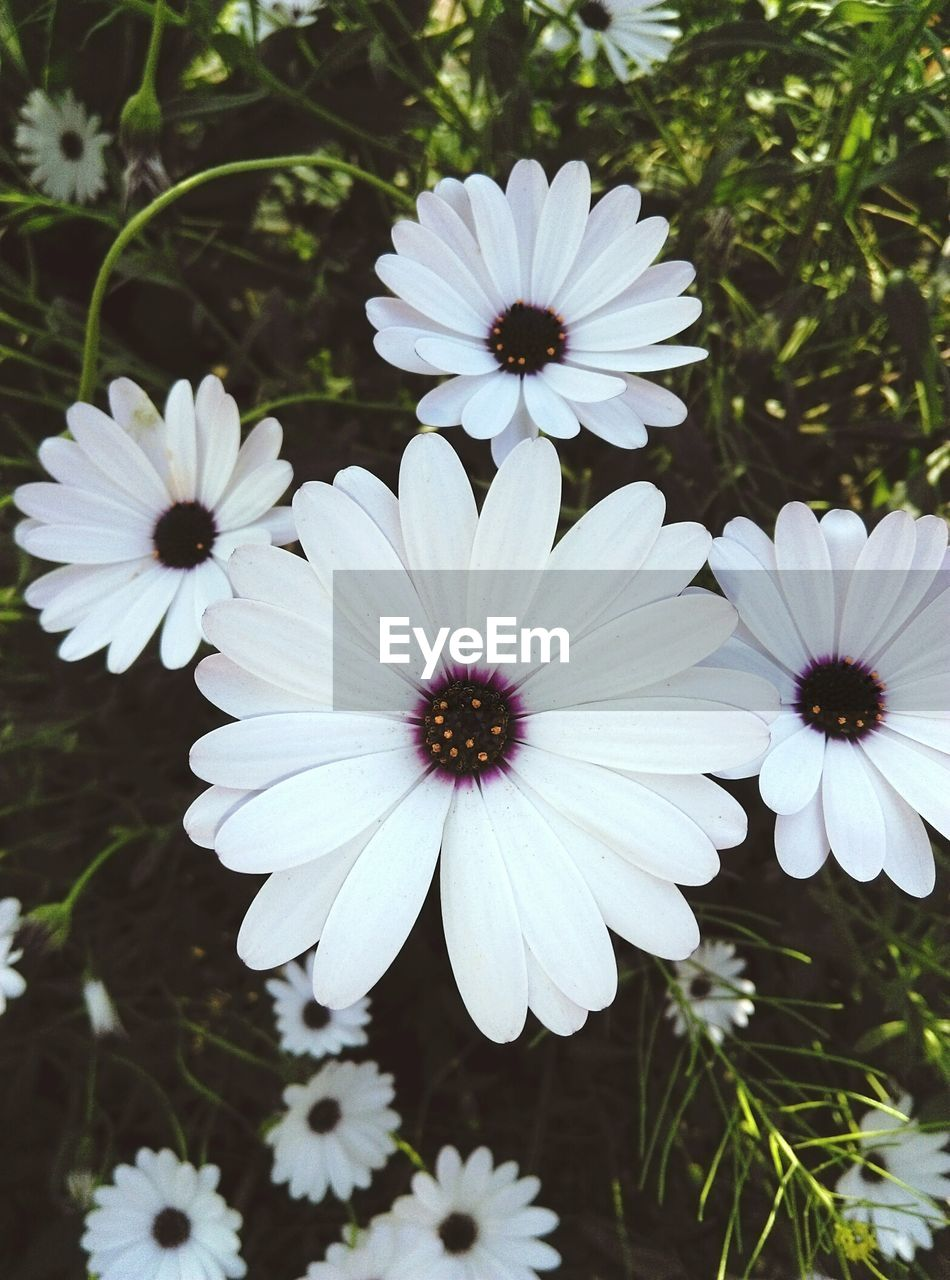 flower, petal, growth, flower head, nature, beauty in nature, plant, fragility, white color, osteospermum, freshness, blooming, day, no people, outdoors, close-up