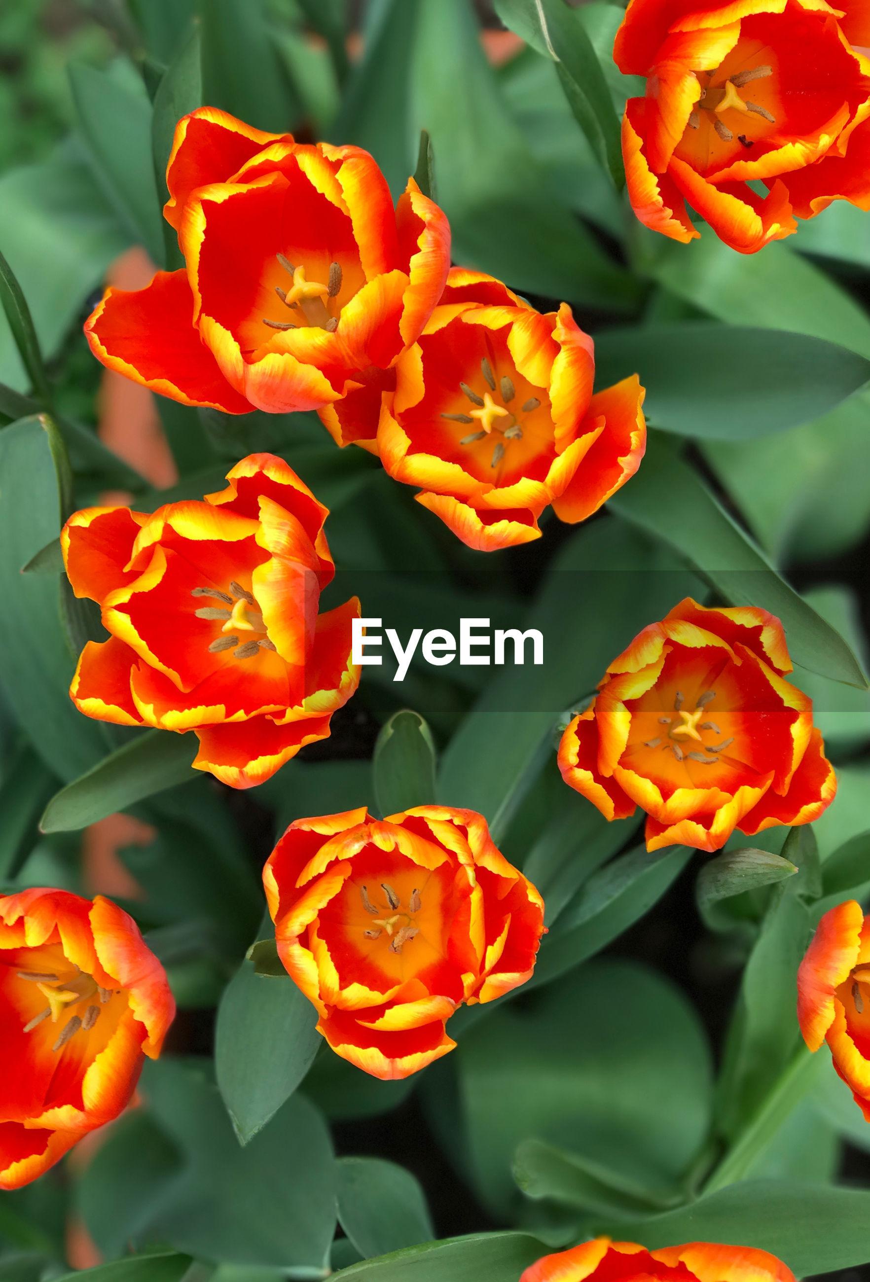 ORANGE FLOWERS BLOOMING OUTDOORS