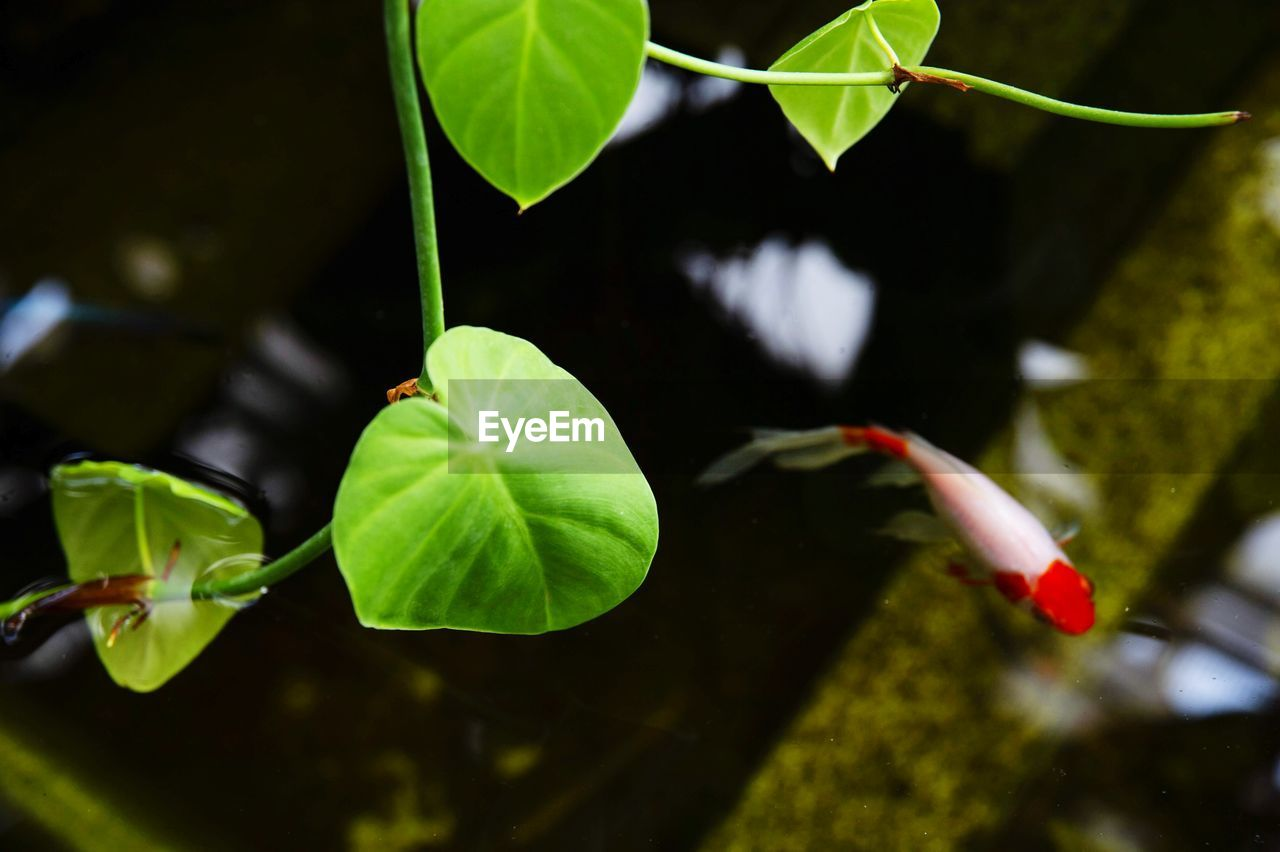 leaf, plant part, plant, green color, growth, nature, beauty in nature, close-up, day, no people, water, selective focus, focus on foreground, high angle view, freshness, reflection, floating, outdoors, vulnerability, floating on water, leaves