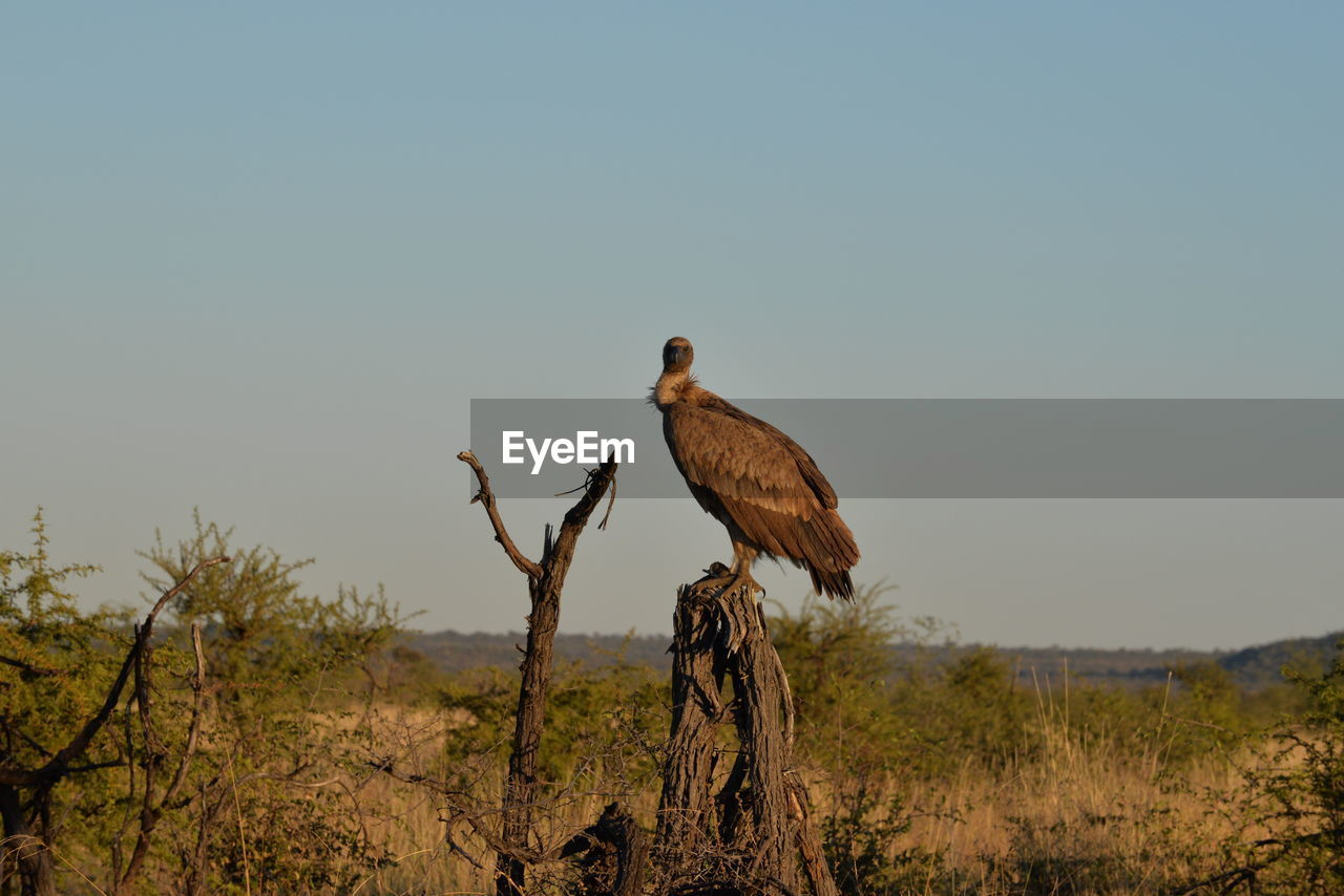animal, animal themes, animal wildlife, animals in the wild, bird, vertebrate, one animal, sky, plant, nature, clear sky, copy space, perching, tree, no people, land, day, sunlight, outdoors, bird of prey