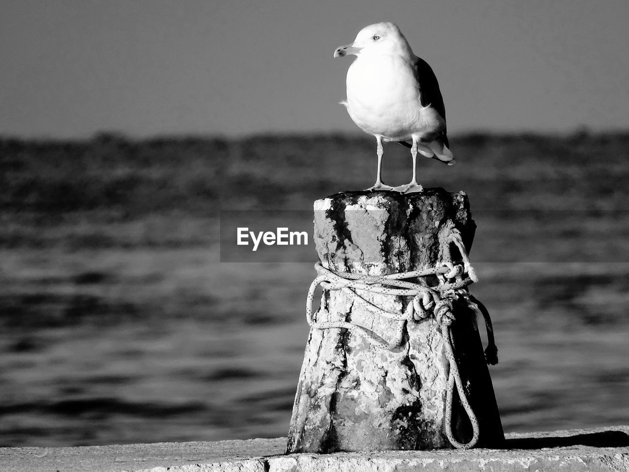 bird, vertebrate, animal, animal themes, perching, one animal, focus on foreground, water, animals in the wild, animal wildlife, post, day, seagull, no people, nature, wooden post, sea, outdoors, beach