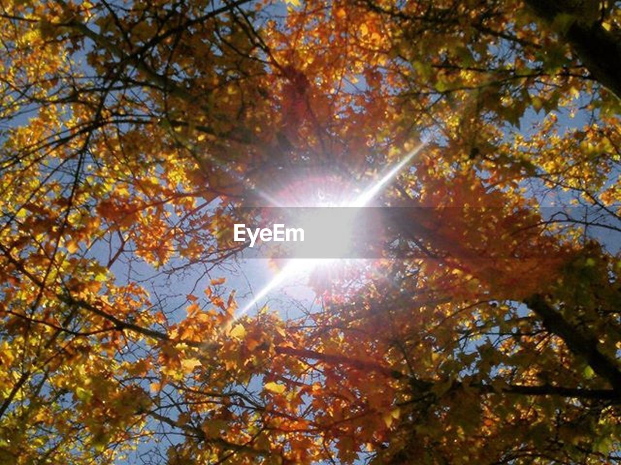 autumn, leaf, tree, sunbeam, sunlight, nature, low angle view, sun, change, lens flare, beauty in nature, branch, outdoors, sunny, day, sky, no people, maple tree, scenics, growth, forest, deciduous tree