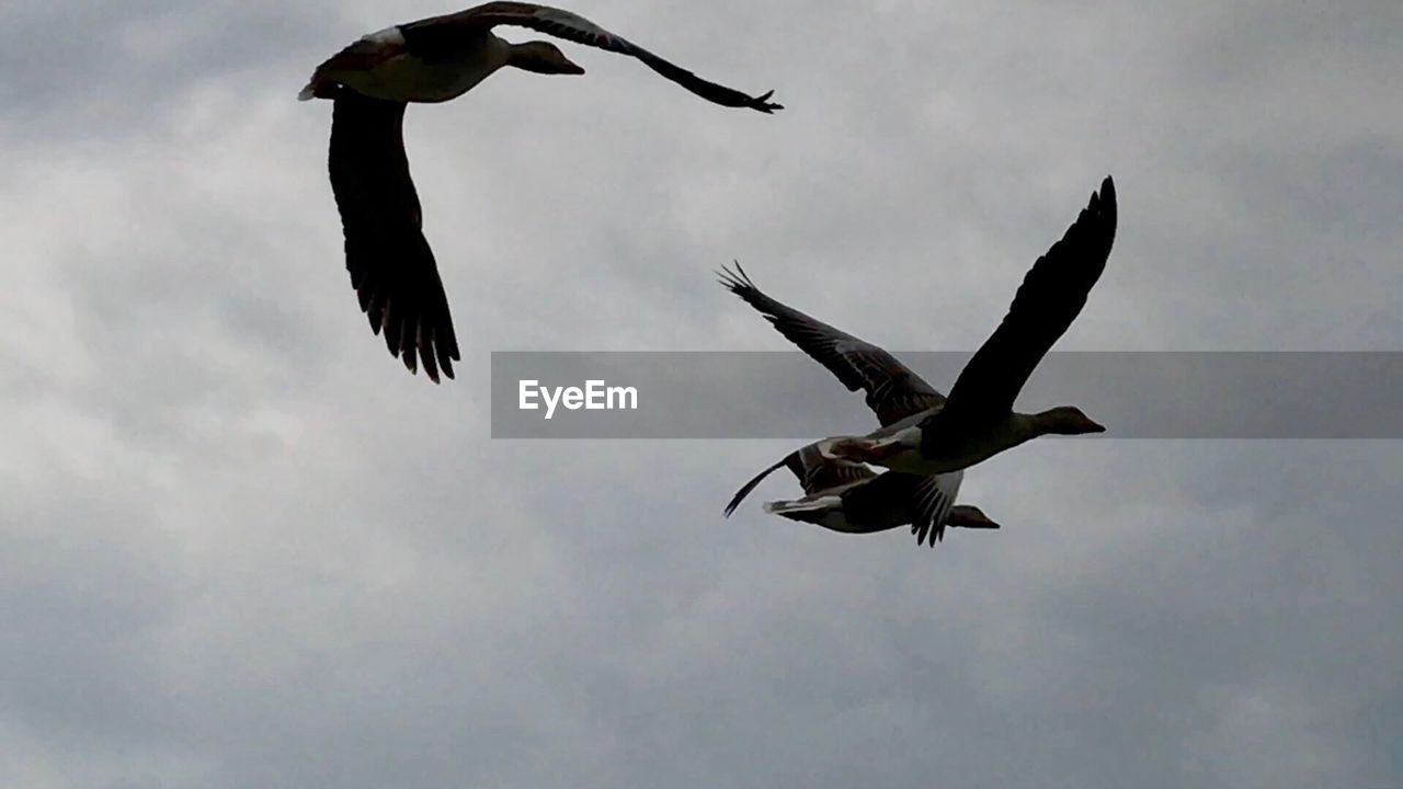 bird, animals in the wild, animal themes, spread wings, flying, animal wildlife, mid-air, nature, low angle view, no people, day, outdoors, full length, sky, beauty in nature