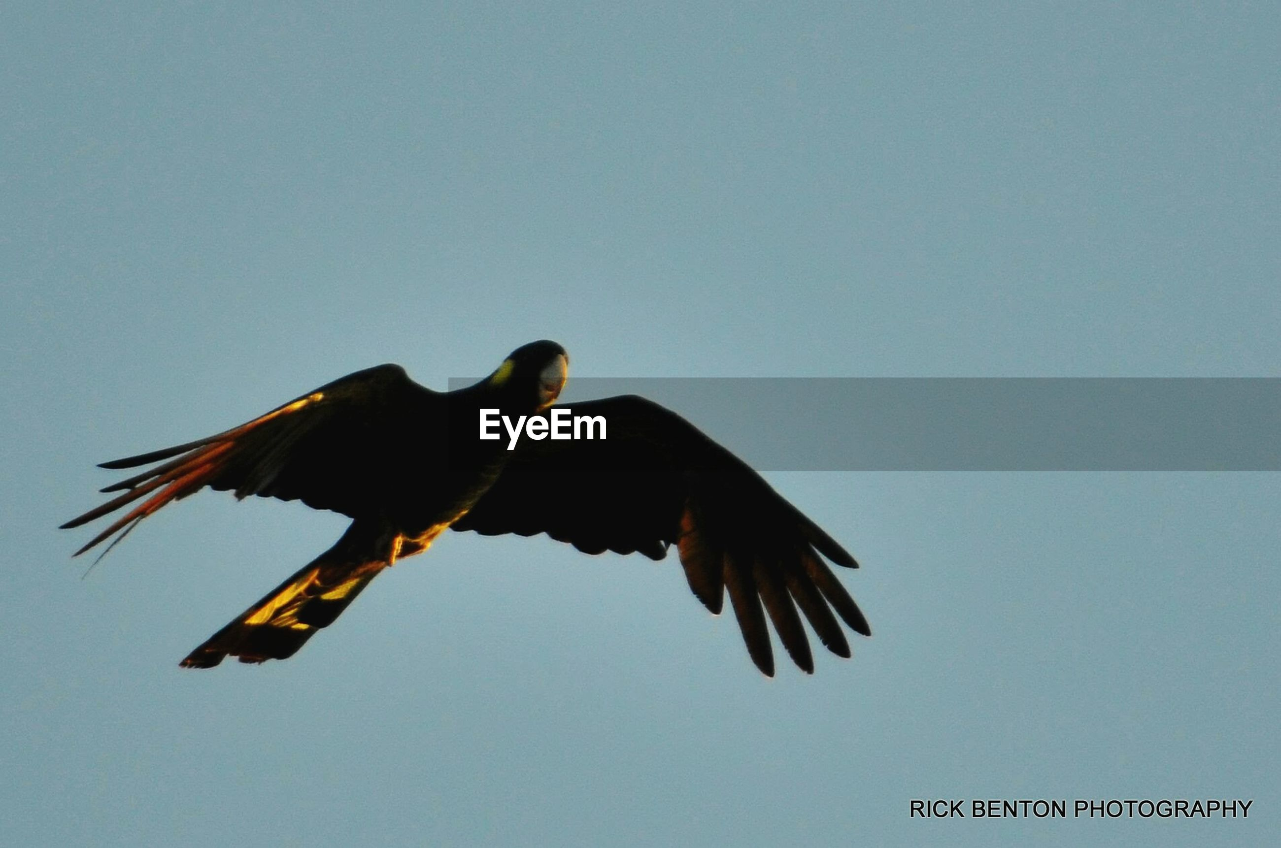 animal themes, clear sky, low angle view, bird, one animal, flying, animals in the wild, copy space, wildlife, spread wings, mid-air, blue, no people, nature, day, outdoors, perching, full length, bird of prey, zoology