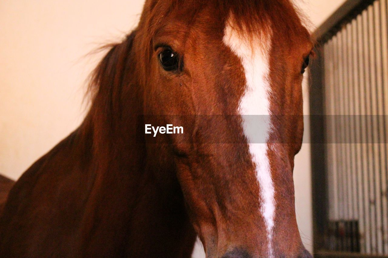 one animal, animal themes, horse, domestic animals, mammal, brown, animal head, close-up, livestock, portrait, no people, looking at camera, indoors, day