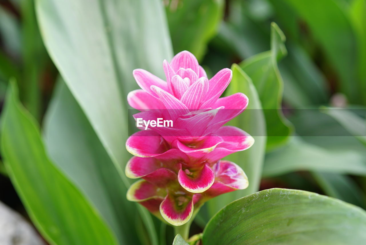 flower, flowering plant, beauty in nature, pink color, plant, freshness, petal, close-up, vulnerability, fragility, plant part, growth, leaf, inflorescence, flower head, nature, no people, green color, day, focus on foreground