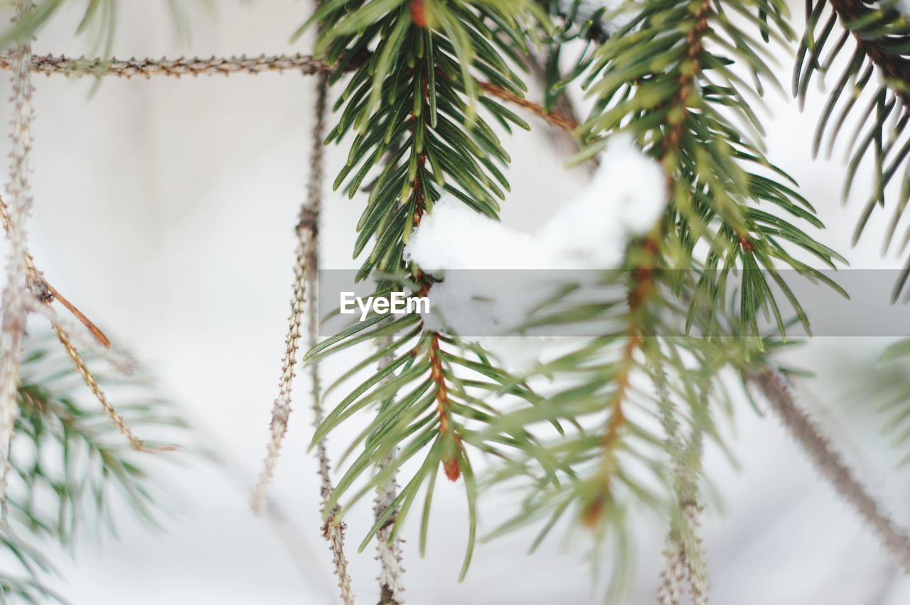 plant, tree, green color, close-up, needle - plant part, branch, pine tree, growth, no people, nature, christmas, day, winter, beauty in nature, focus on foreground, coniferous tree, celebration, selective focus, holiday, fir tree, outdoors