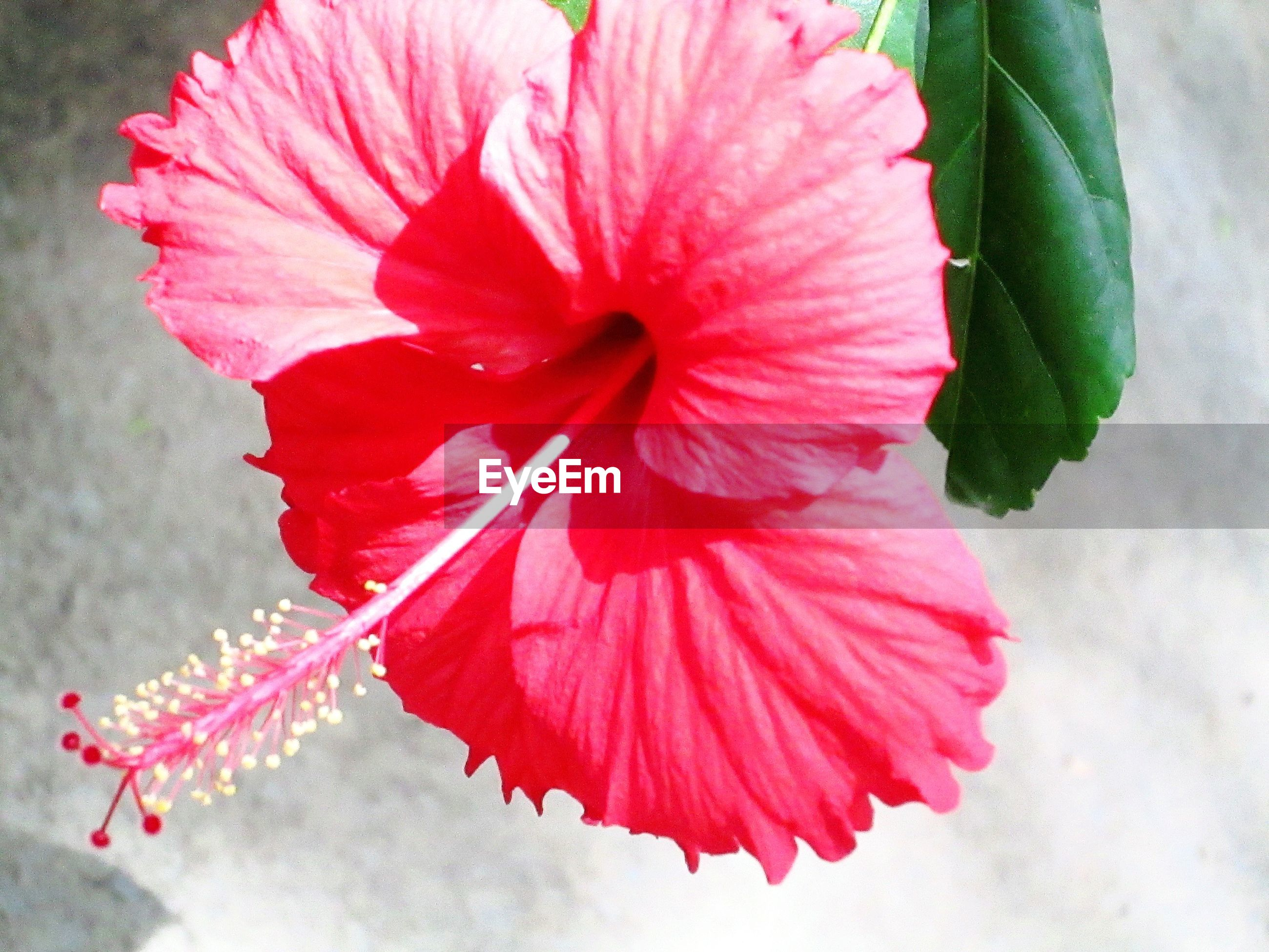 Close-up of pink hibiscus blooming outdoors