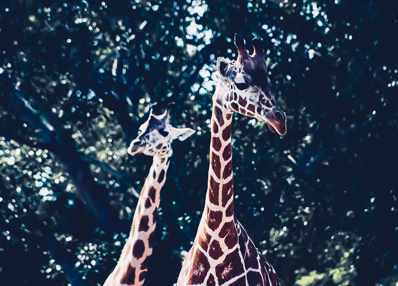 tree, animal, animal themes, animal wildlife, giraffe, no people, nature, animals in the wild, one animal, celebration, plant, low angle view, vertebrate, mammal, day, focus on foreground, bird, decoration, christmas, outdoors, animal neck
