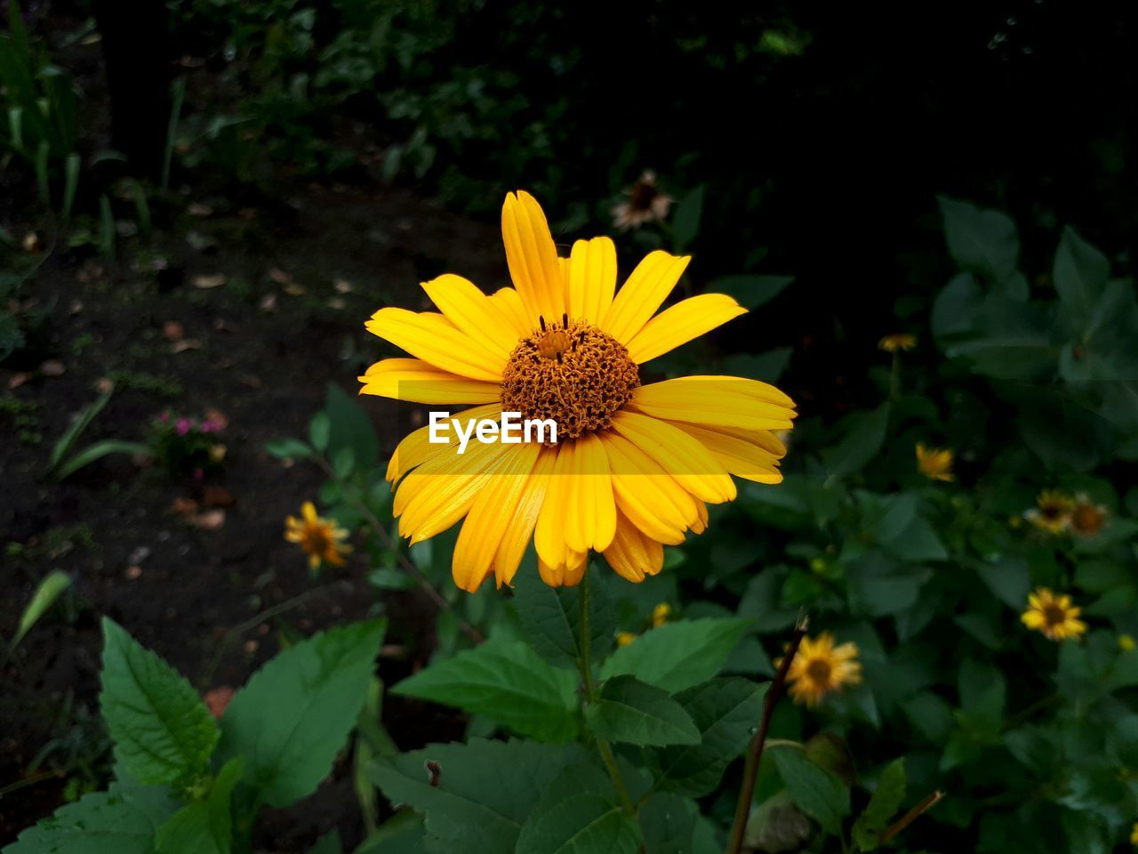 flower, petal, yellow, fragility, nature, flower head, growth, beauty in nature, plant, freshness, blooming, leaf, pollen, field, outdoors, cosmos flower, no people, close-up, day, black-eyed susan