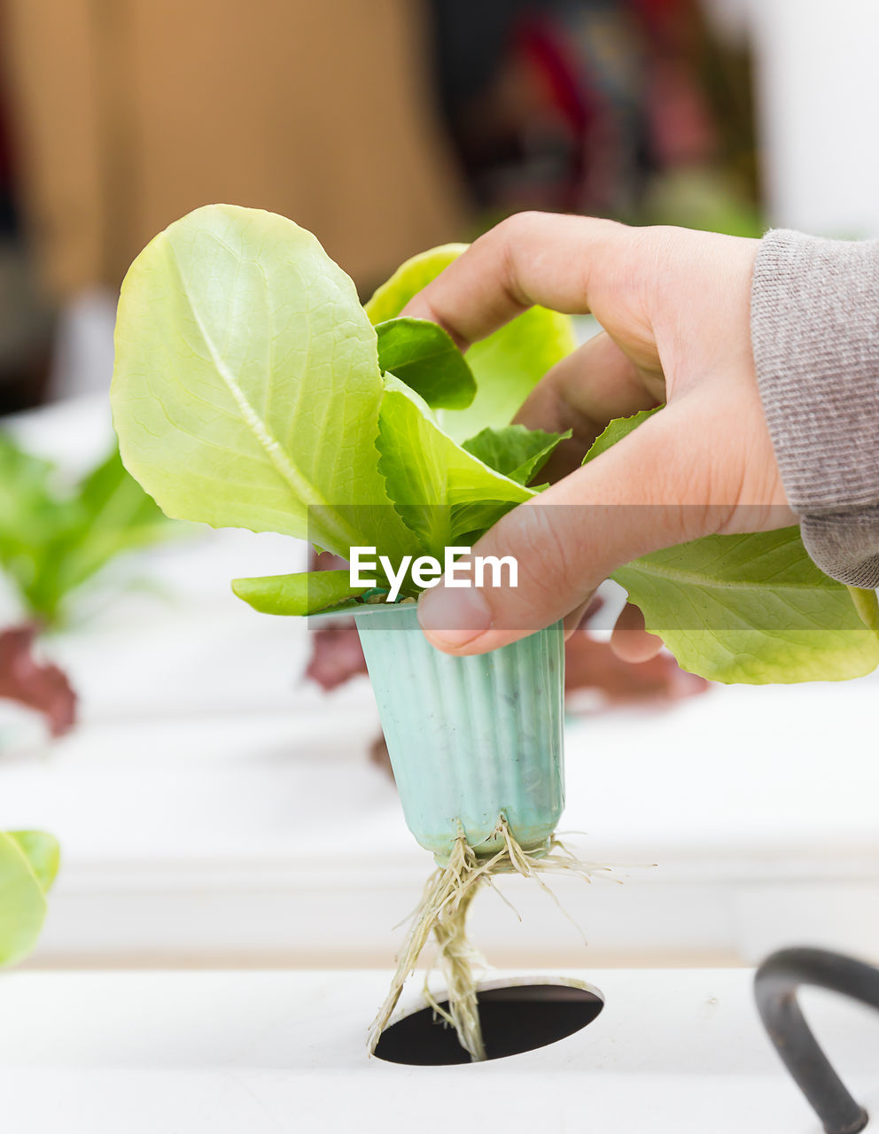 human hand, hand, leaf, human body part, plant part, green color, one person, real people, focus on foreground, holding, indoors, close-up, lifestyles, food, freshness, food and drink, nature, unrecognizable person, vegetable, finger, leaves