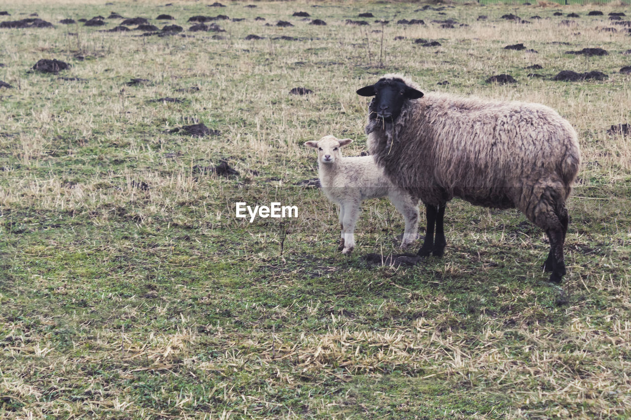 Sheep With Lamb Standing On Field