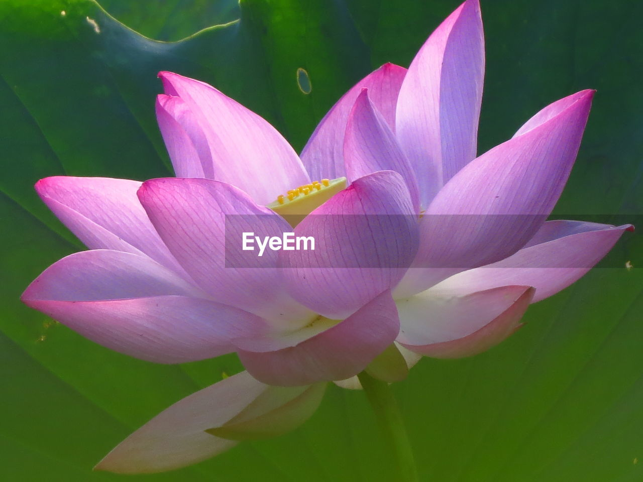 flower, flowering plant, beauty in nature, plant, vulnerability, fragility, petal, freshness, close-up, inflorescence, growth, flower head, water lily, pink color, nature, lily, lotus water lily, leaf, no people, purple, pollen