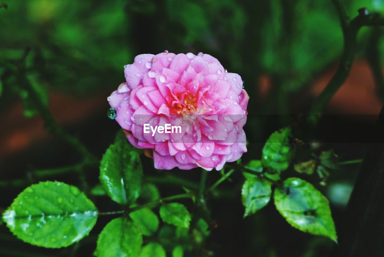 beauty in nature, plant, flowering plant, flower, freshness, vulnerability, pink color, growth, close-up, fragility, petal, inflorescence, flower head, leaf, plant part, nature, focus on foreground, no people, green color, day, outdoors