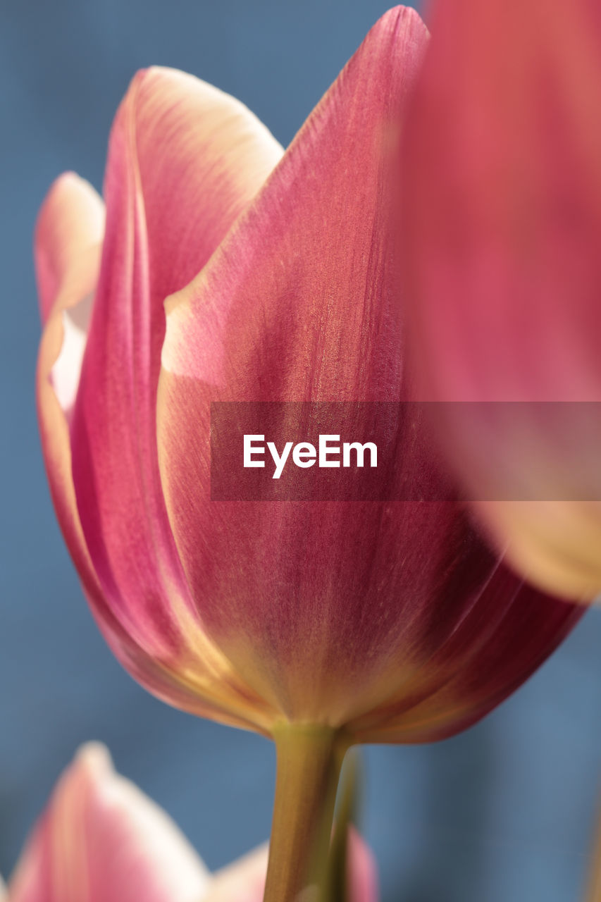 flower, flowering plant, fragility, vulnerability, beauty in nature, plant, freshness, close-up, petal, growth, inflorescence, flower head, nature, pink color, focus on foreground, no people, selective focus, tulip, plant stem, outdoors, pollen