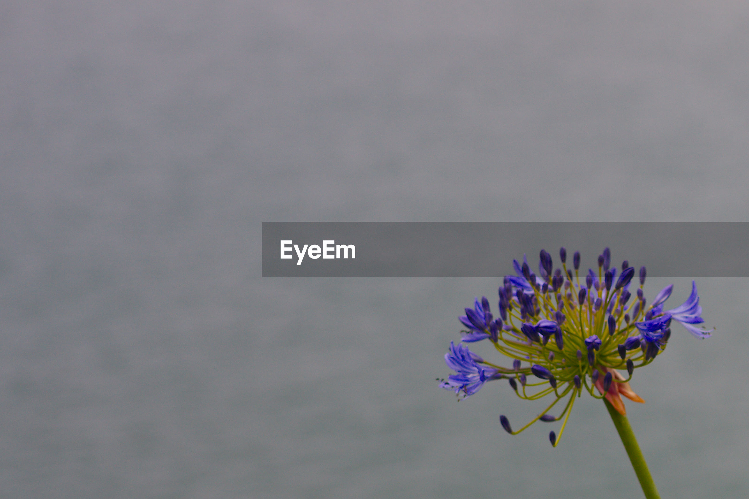 CLOSE-UP OF PURPLE FLOWER BLOOMING AGAINST BLURRED BACKGROUND