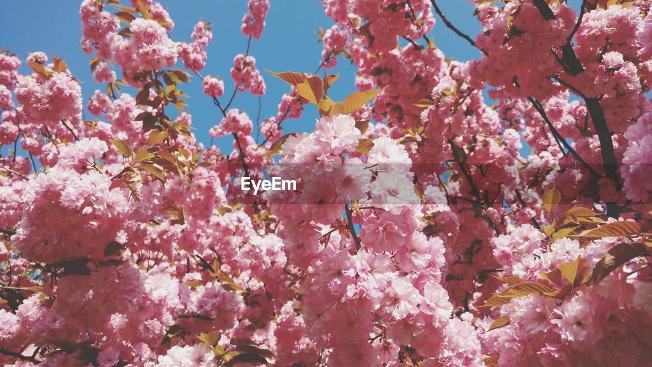 flowering plant, flower, pink color, plant, fragility, freshness, vulnerability, growth, beauty in nature, blossom, nature, day, springtime, low angle view, no people, tree, branch, close-up, cherry blossom, cherry tree, outdoors, spring