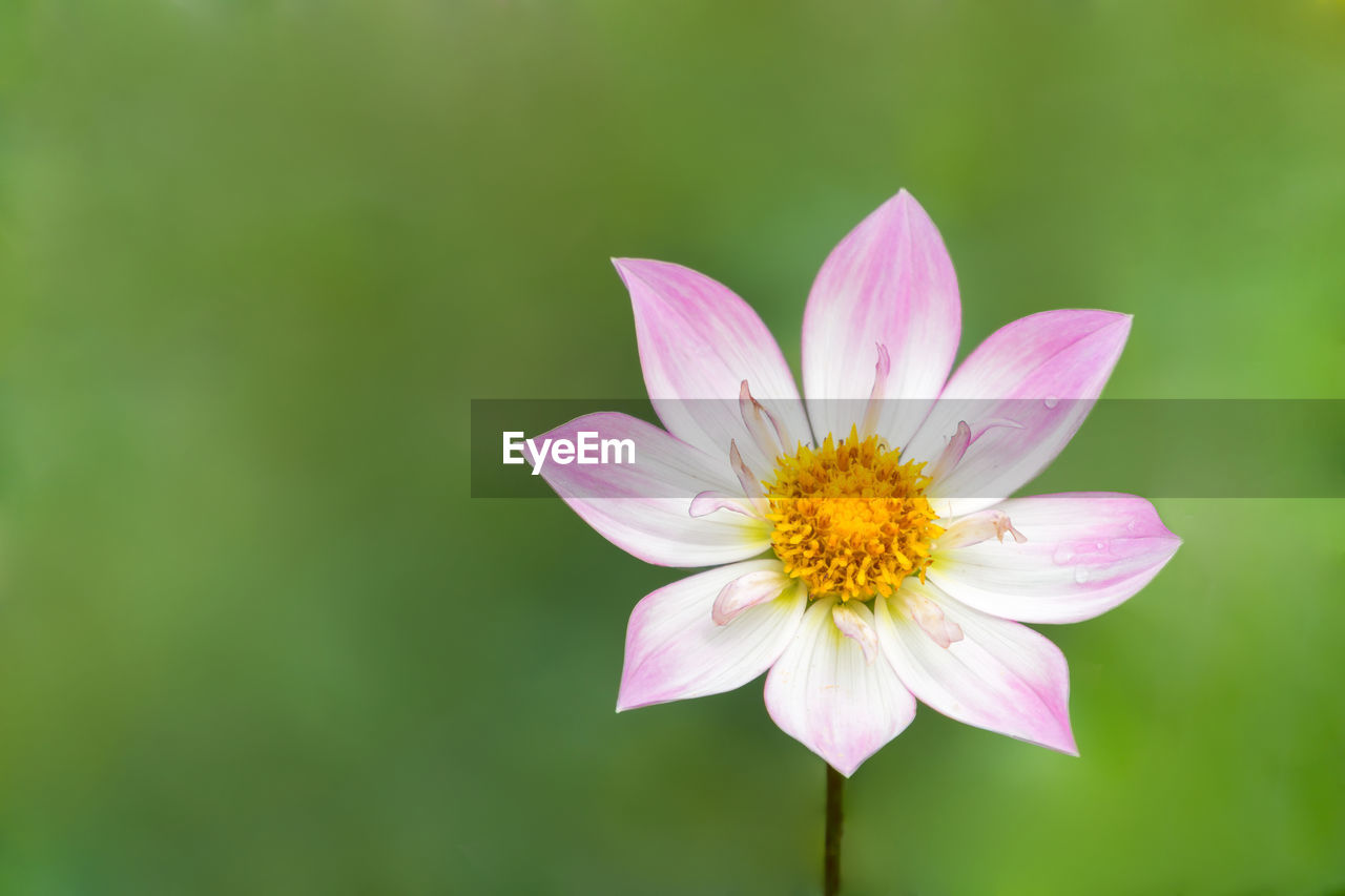 flowering plant, flower, vulnerability, petal, freshness, fragility, plant, beauty in nature, flower head, inflorescence, close-up, pink color, growth, pollen, nature, water lily, no people, cosmos flower, focus on foreground, lotus water lily