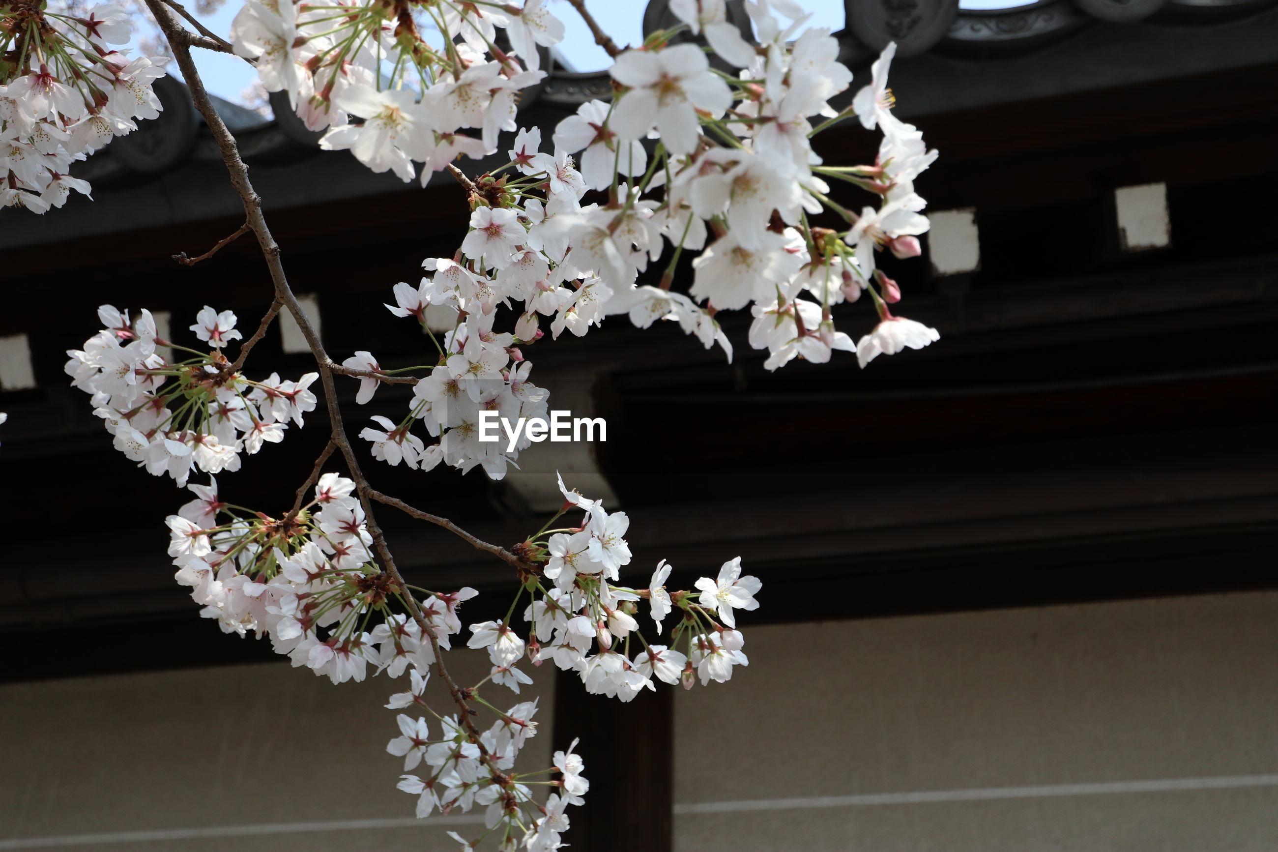 Low angle view of white flowering tree by building