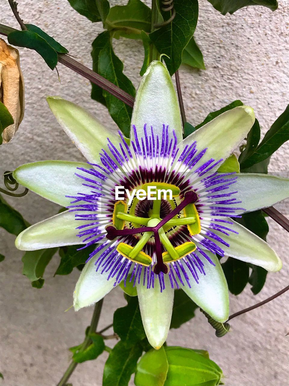 flowering plant, flower, plant, vulnerability, petal, fragility, flower head, inflorescence, passion flower, freshness, growth, beauty in nature, purple, close-up, pollen, nature, leaf, plant part, day, no people, flower pot, gazania