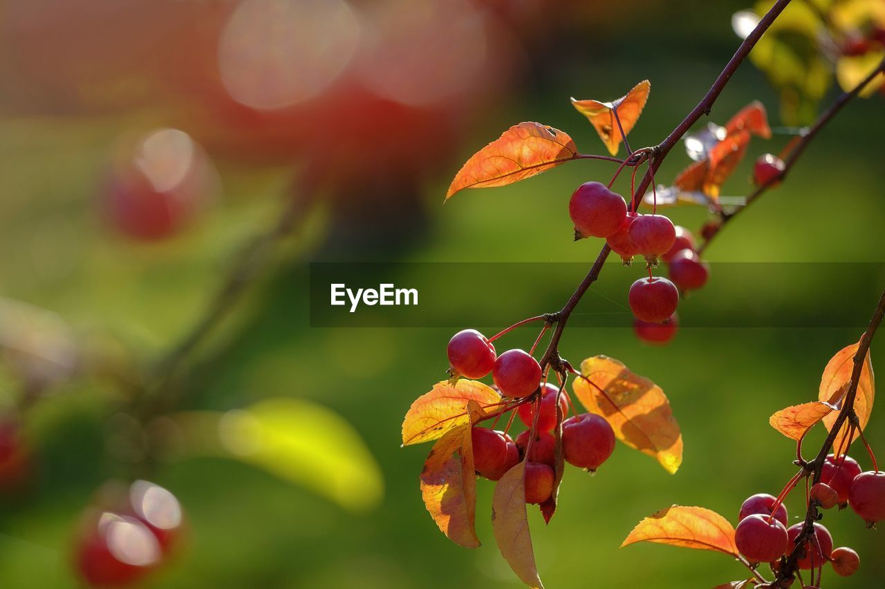 growth, plant, fruit, red, beauty in nature, focus on foreground, plant part, freshness, close-up, leaf, food, tree, healthy eating, nature, day, food and drink, no people, berry fruit, outdoors, wellbeing, rowanberry, ripe, red currant
