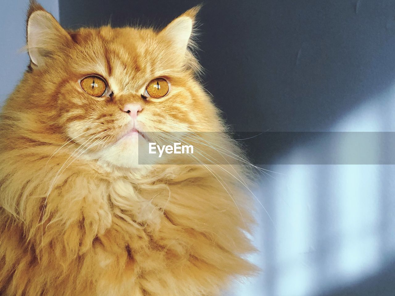 domestic, domestic animals, animal themes, pets, animal, cat, domestic cat, mammal, feline, one animal, vertebrate, no people, portrait, looking at camera, close-up, whisker, indoors, looking, day, relaxation, persian cat, animal head, maine coon cat, ginger cat, animal eye