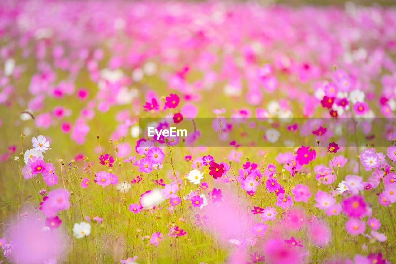 pink color, flowering plant, flower, freshness, selective focus, plant, fragility, vulnerability, close-up, no people, beauty in nature, nature, inflorescence, flower head, petal, growth, day, outdoors, backgrounds, abundance