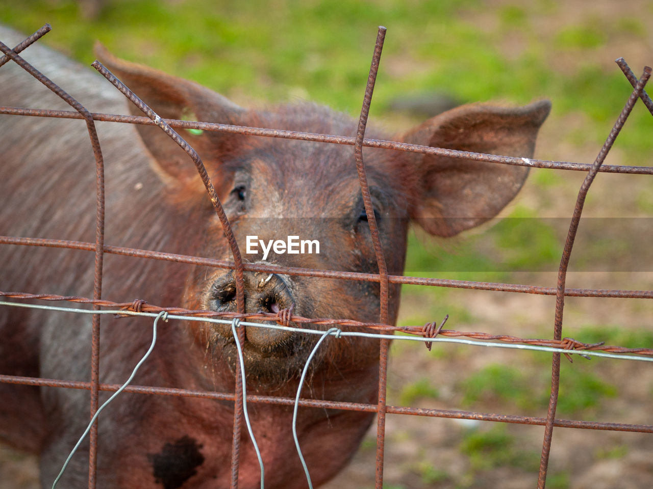 mammal, fence, animal, barrier, animal themes, boundary, focus on foreground, metal, one animal, no people, day, close-up, portrait, nature, animal wildlife, security, domestic animals, animal body part, livestock, vertebrate, outdoors, animal head, herbivorous