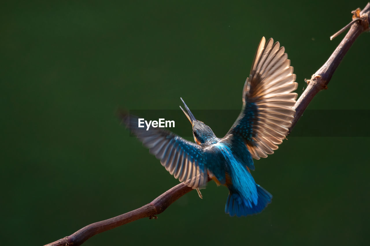 spread wings, flying, animal wildlife, animals in the wild, animal themes, one animal, animal, vertebrate, bird, motion, mid-air, no people, nature, blue, day, parrot, beauty in nature, outdoors, close-up, zoology, flapping
