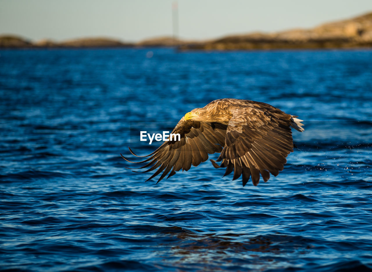 animal themes, animal, water, animal wildlife, one animal, animals in the wild, bird, vertebrate, flying, spread wings, waterfront, nature, no people, sea, focus on foreground, day, outdoors, beauty in nature, bird of prey, eagle