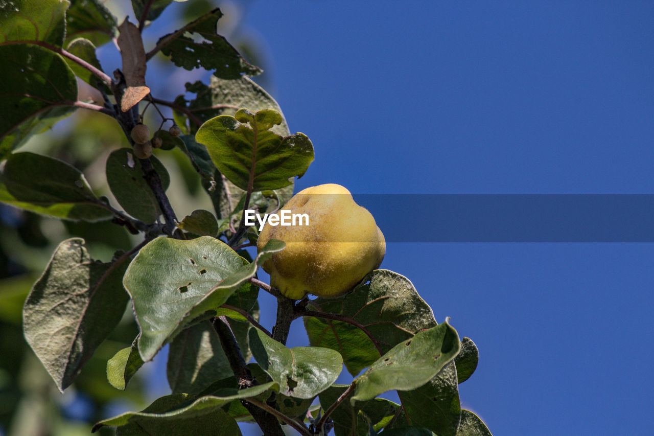 leaf, plant part, growth, plant, healthy eating, food and drink, low angle view, freshness, fruit, food, tree, sky, green color, fruit tree, nature, wellbeing, no people, clear sky, blue, day, outdoors, ripe