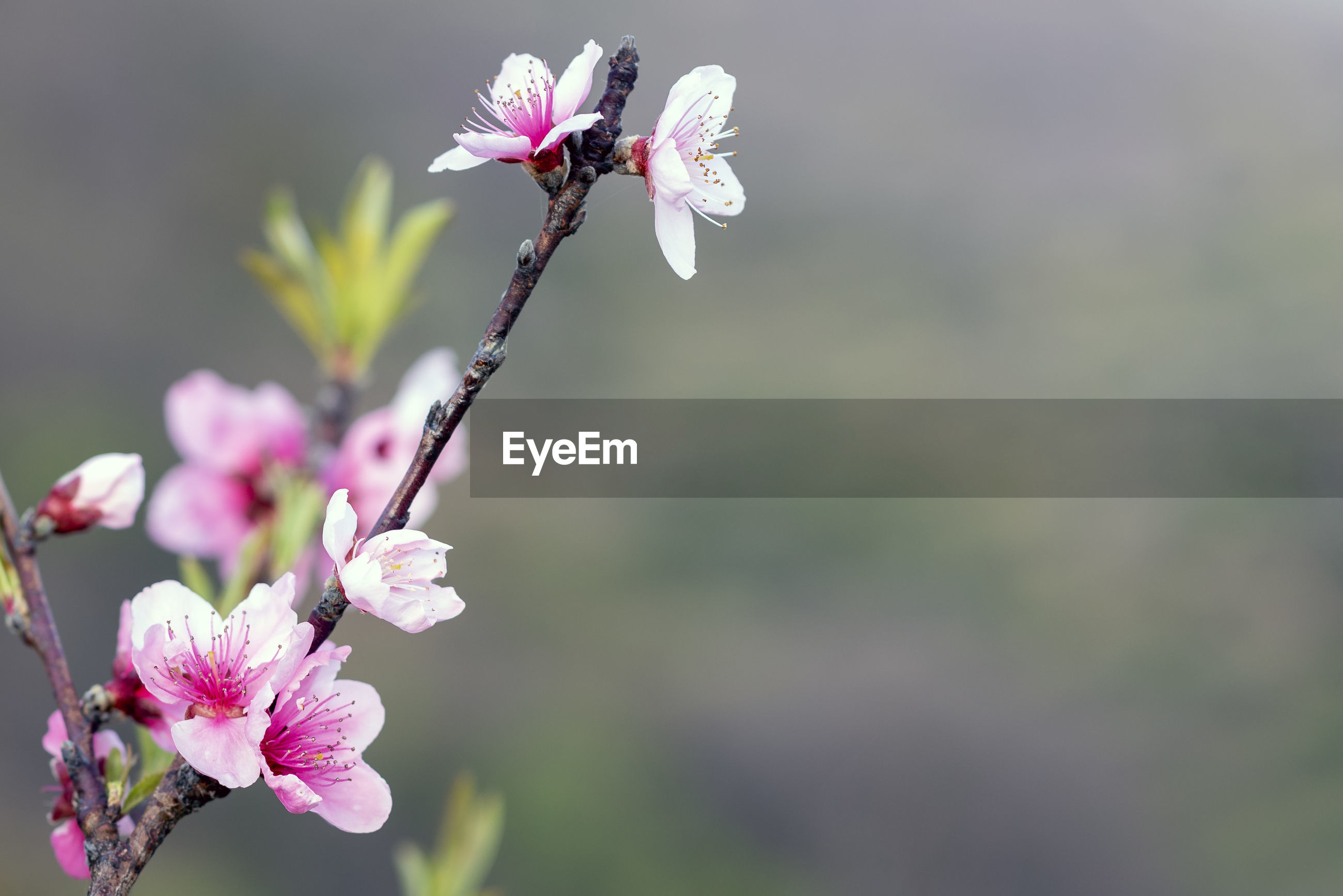 CLOSE-UP OF PINK CHERRY BLOSSOM OUTDOORS