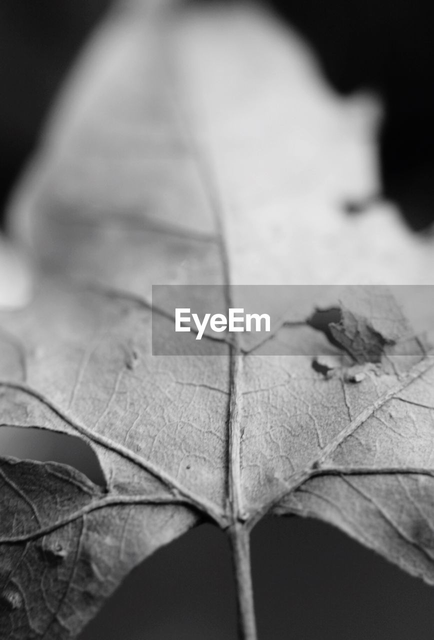 leaf, close-up, selective focus, nature, no people, day, beauty in nature, outdoors, maple