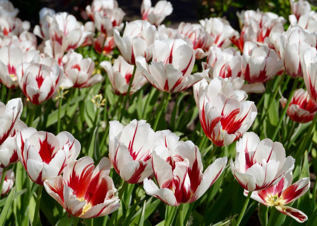 flowering plant, flower, fragility, vulnerability, freshness, beauty in nature, plant, petal, white color, growth, close-up, flower head, inflorescence, day, nature, field, land, no people, tulip, red, outdoors, flowerbed