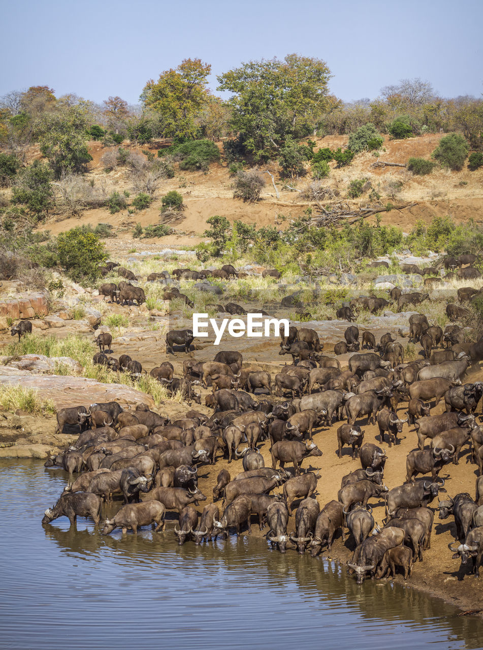 water, animal, animal themes, mammal, group of animals, animal wildlife, animals in the wild, day, nature, large group of animals, no people, vertebrate, tree, plant, herd, waterfront, lake, buffalo, domestic animals, outdoors, herbivorous