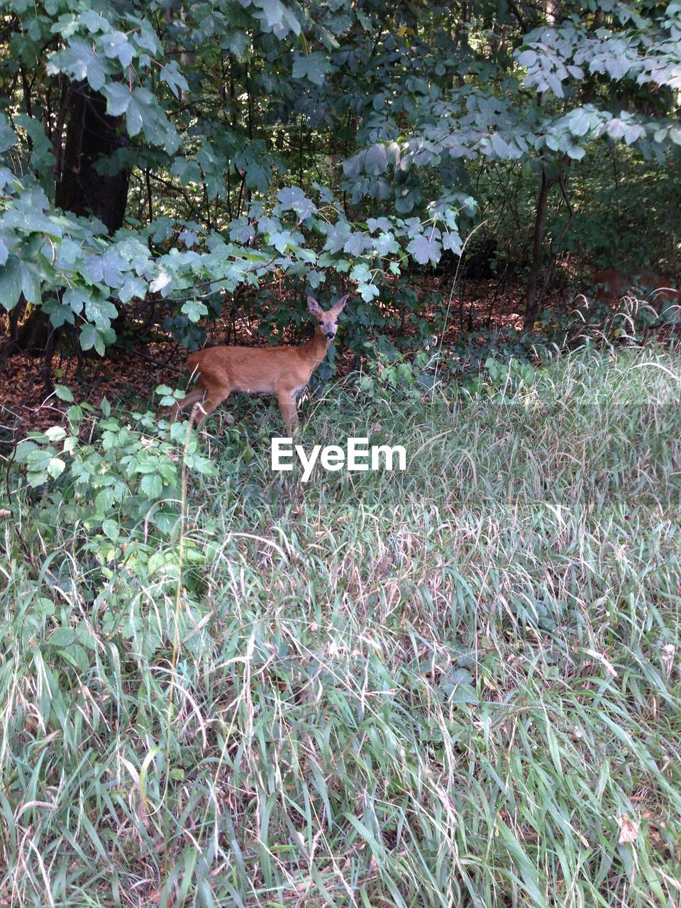 animal themes, animal, plant, mammal, one animal, growth, field, vertebrate, land, nature, animals in the wild, animal wildlife, no people, day, deer, domestic animals, green color, grass, pets, outdoors, fawn, herbivorous
