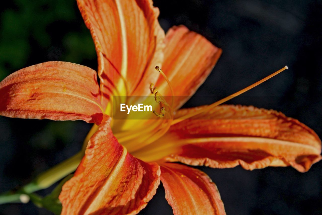 petal, orange color, flower, flower head, beauty in nature, day lily, growth, freshness, nature, fragility, close-up, outdoors, focus on foreground, day, lily, no people, plant, blooming, water