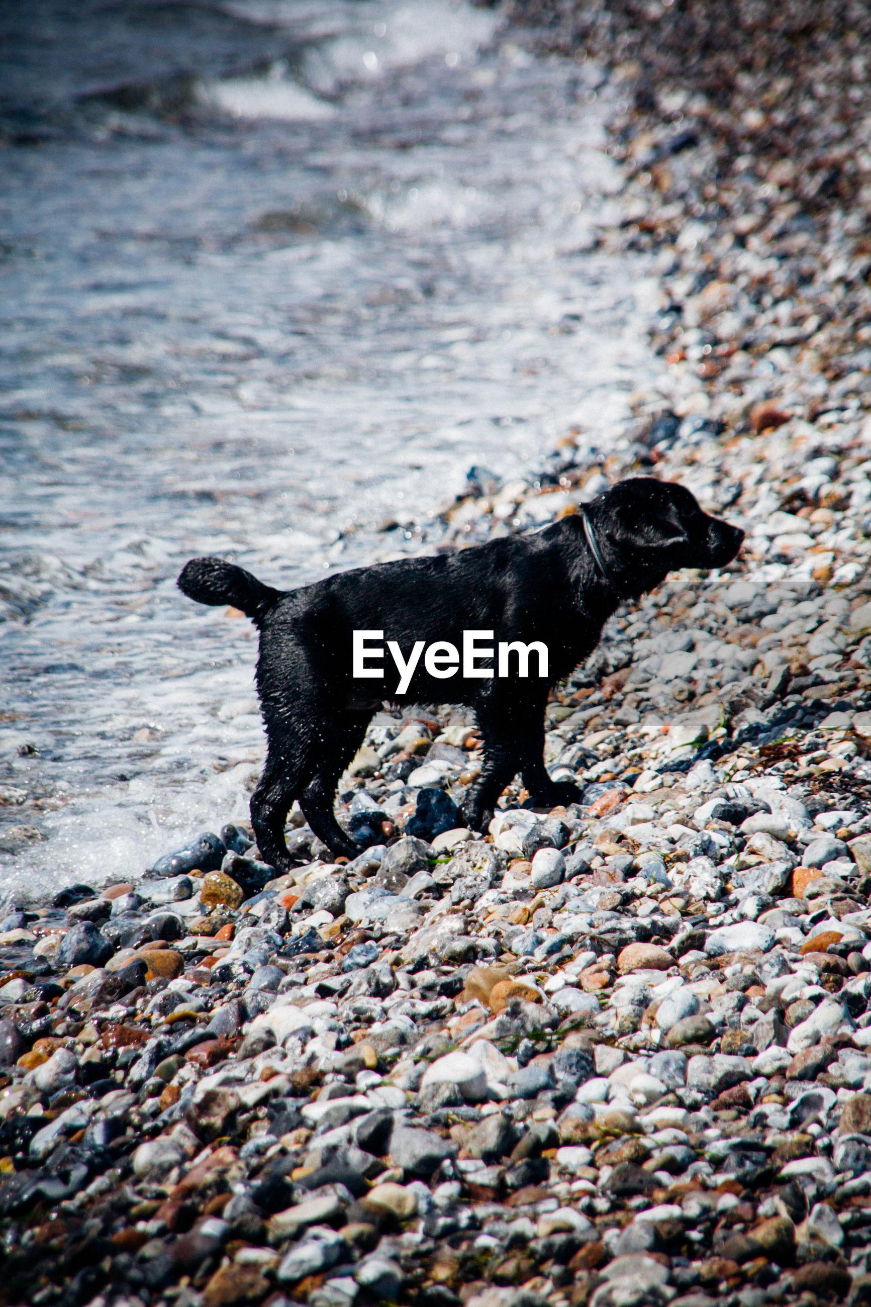 Dog walking at beach