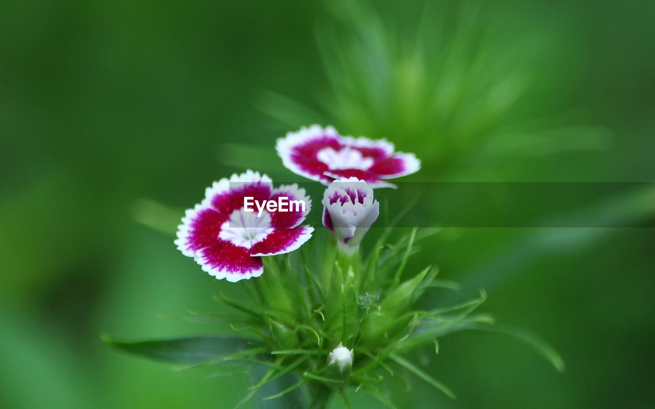 flower, flowering plant, plant, fragility, vulnerability, beauty in nature, freshness, petal, close-up, growth, flower head, inflorescence, nature, green color, pink color, selective focus, day, no people, focus on foreground, plant part, purple