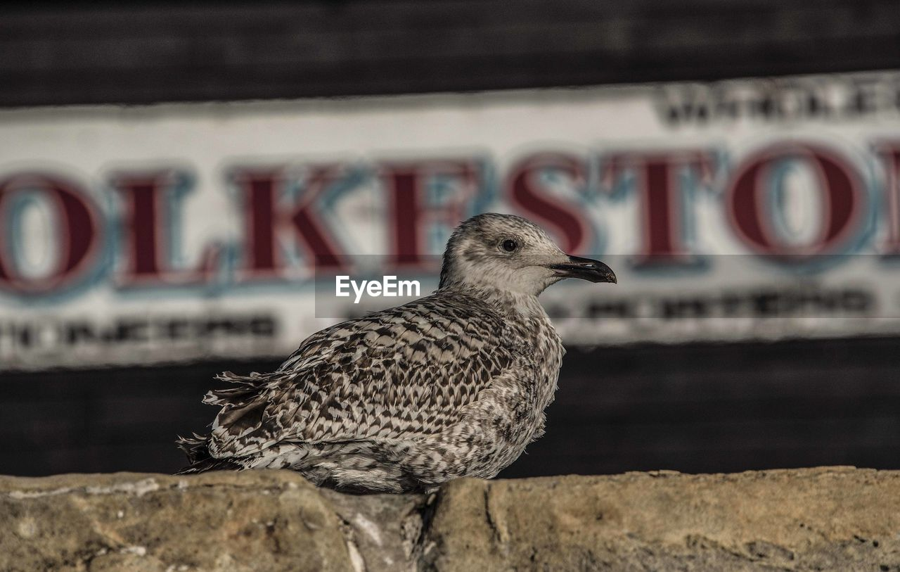 animal themes, one animal, bird, animals in the wild, text, focus on foreground, animal wildlife, day, no people, communication, close-up, outdoors, seagull, nature, perching, bird of prey, mammal