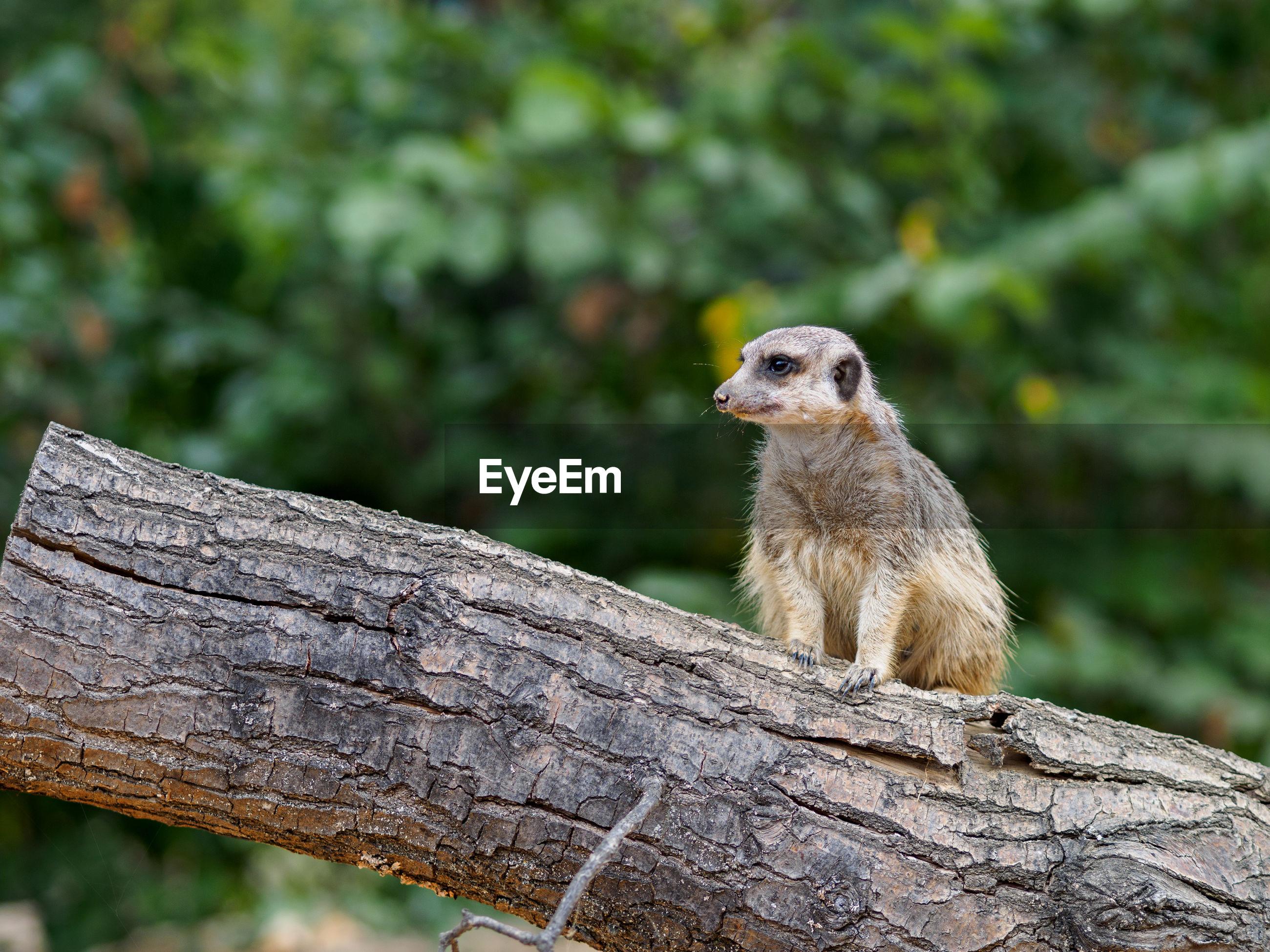 Meerkat on wood at zoo