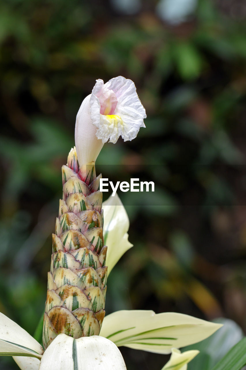 flowering plant, flower, plant, vulnerability, fragility, beauty in nature, petal, freshness, growth, close-up, focus on foreground, flower head, inflorescence, nature, no people, white color, day, outdoors, pollen
