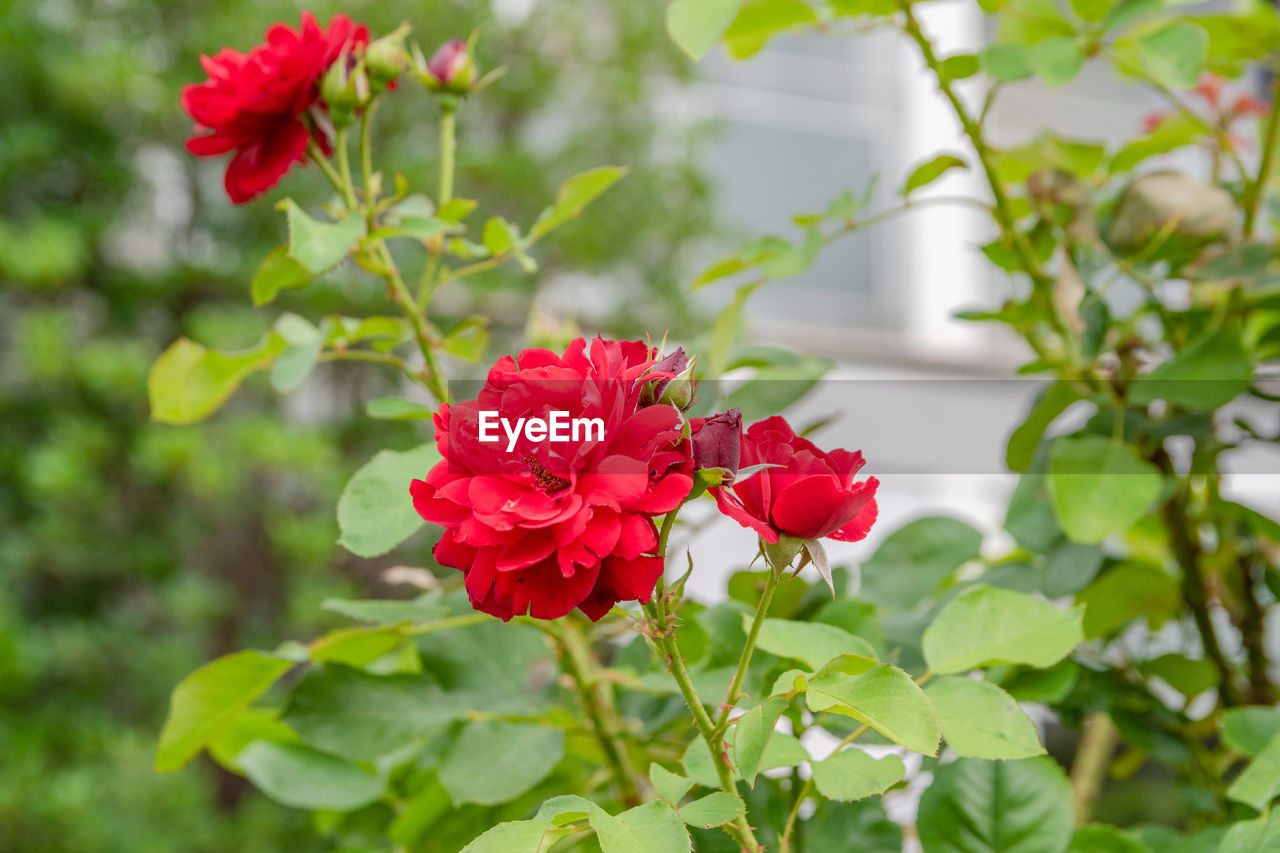 flowering plant, flower, beauty in nature, plant, petal, red, vulnerability, fragility, freshness, growth, flower head, inflorescence, close-up, plant part, nature, leaf, focus on foreground, green color, day, rose, no people