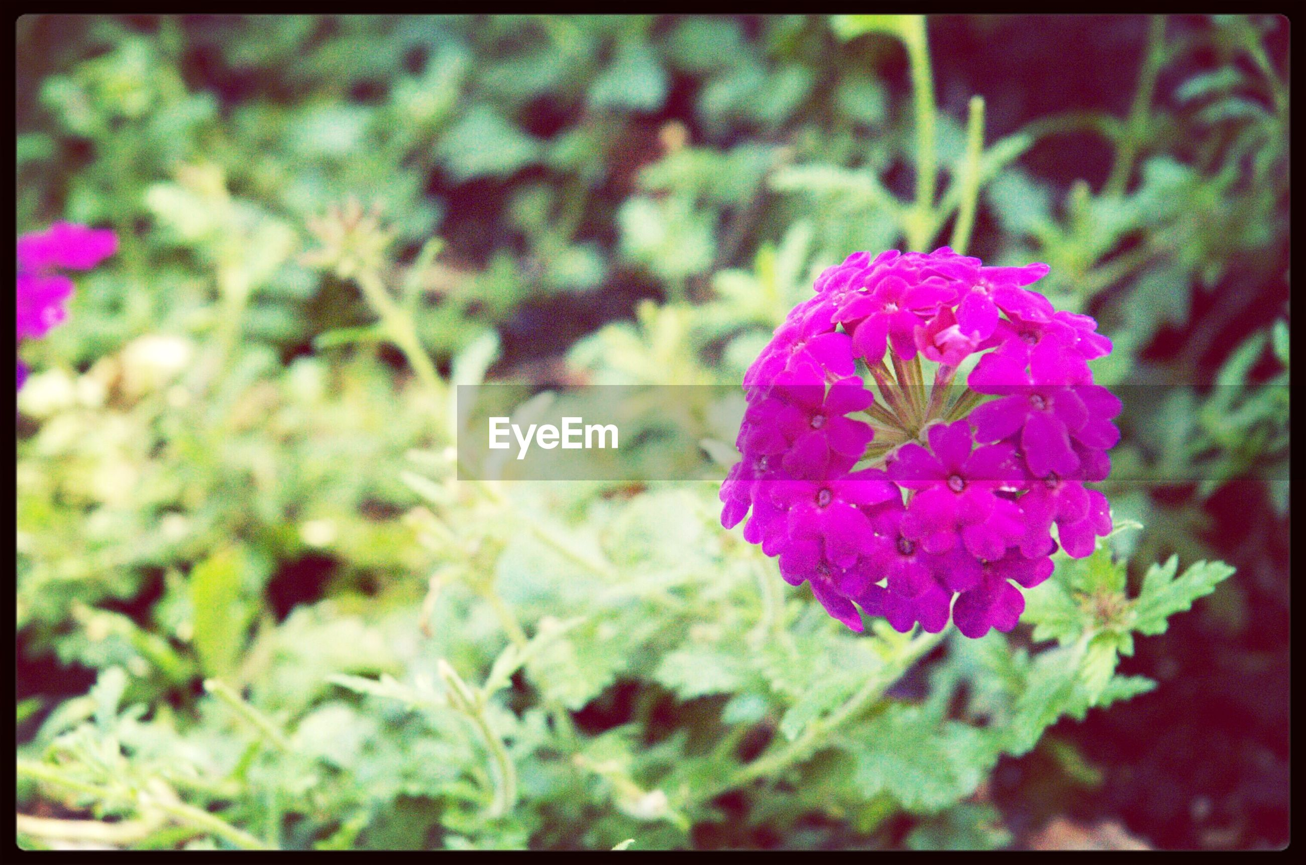 transfer print, flower, auto post production filter, growth, freshness, fragility, plant, close-up, beauty in nature, petal, pink color, focus on foreground, nature, flower head, blooming, selective focus, leaf, red, outdoors, day
